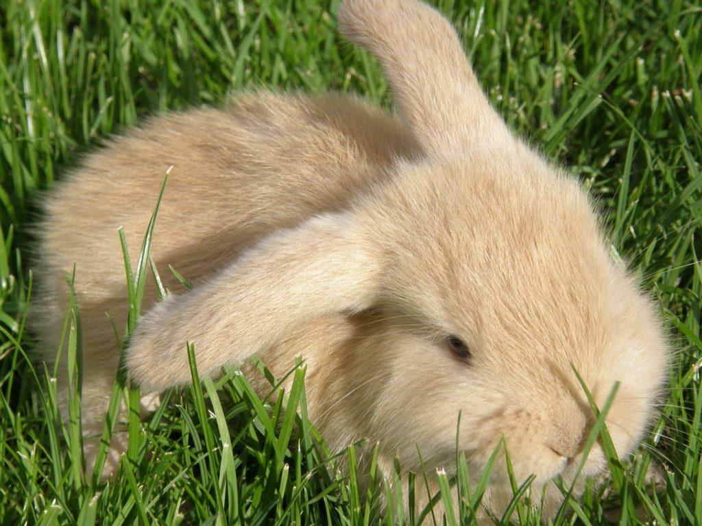 fluffy beige bunny