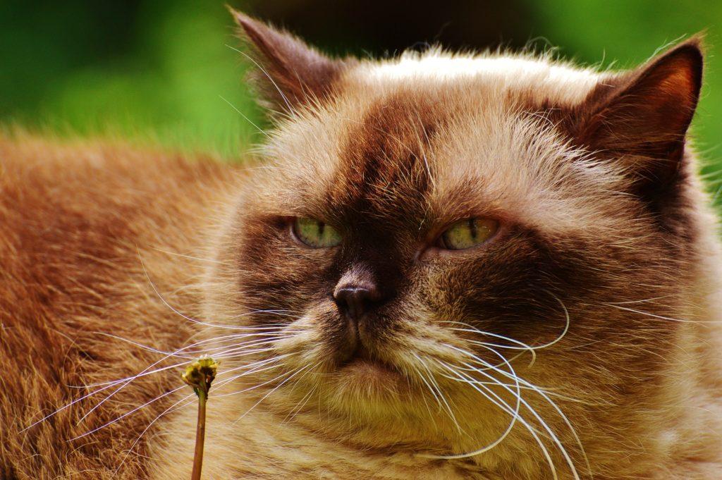 Fat grumpy cat